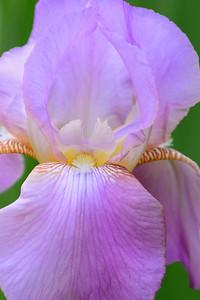 Iris-Pink Plume