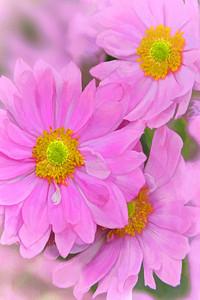Pink Japanese Anemone Art