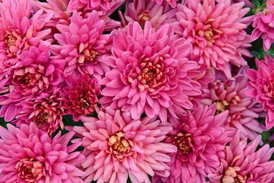 Chrysanthemums in Pink