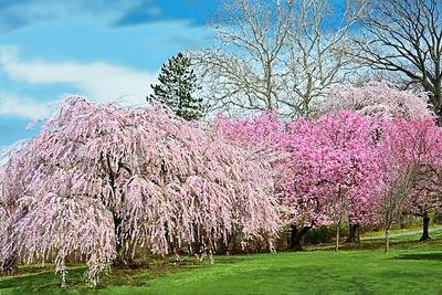 Springtime Cherry Blossom Landscape