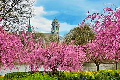 Sacred Heart Basilica and Cherry Blossoms