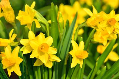 Daffodil {Path