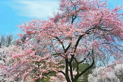Sweet Spring in Bloom