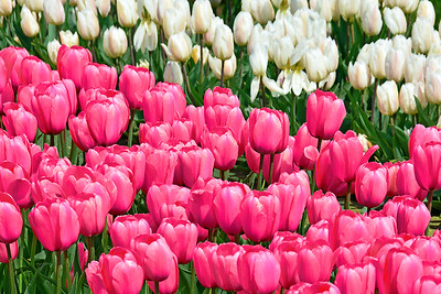 Tulip Garden in Pink and White