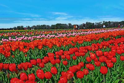 Holland Ridge Tulip Fields NJ
