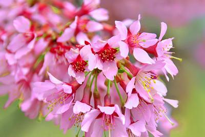 Okame Cherry Blossom Branch