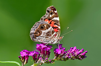 Painted Lady Butterfly on Butterfly Bush.