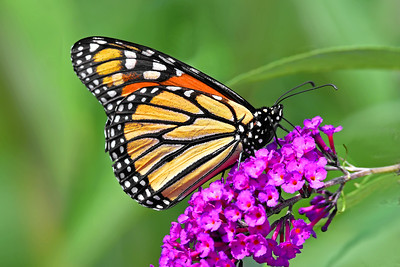 Monarch Butterfly Sipping Butterfly Bush Flower Nectar