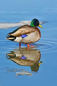 Mallard Duck and Reflection