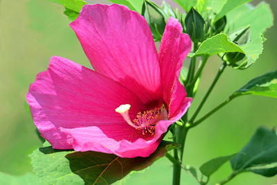 Pink Rose  Mallow Blossom