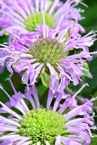 A close up view of lavender monarda flowers. Monarda, a plant native to North America, is a genus of flowering plants in the mint family, Lamiaceae., also known as bee balm, horsemint, oswego tea, and bergamot. Available in a variety of pink and red hues, monarda plants  are often used in gardens and wildflower native plantings to attract hummingbirds, pollinating insects, and insects that control garden pests.