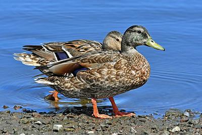Wading Mallard Ducks