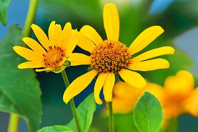 Woodland sunflowers Portrait