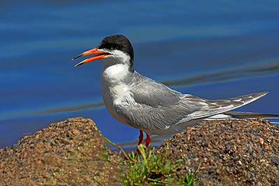 Wading Forster's Tern
