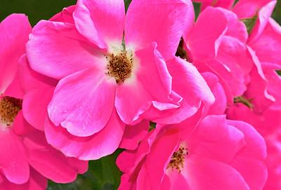 Rose Cluster in Deep Pink