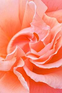 Peach Rose Pinwheel Petals