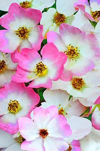 Ballerina Rose Cluster