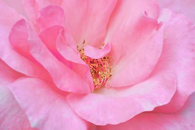 Pink Ruffled  Rose Portrait