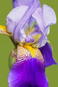 Bearded Iris Prospero Portrait on Green
