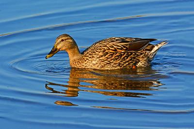 Mallard Female- Sundown Swim