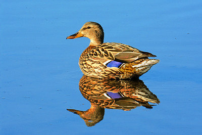Mallard Reflected on Sky Blue Waters