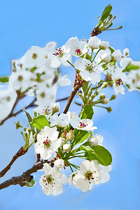 Ornamental Pear Tree in Bloom