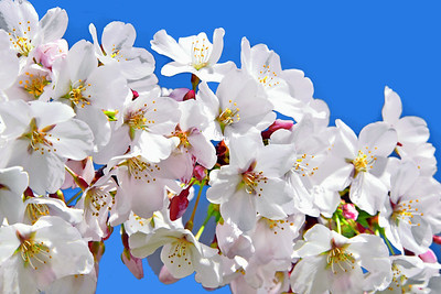 White Cherry Blossoms and Blue Sky