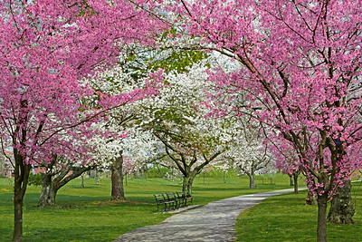 Cherry Blossom Canopy and Path