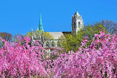 Cherry Blossom Framed Sacred Heart Basilica