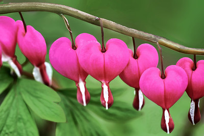 Bleeding Heart Flowers in Bloom
