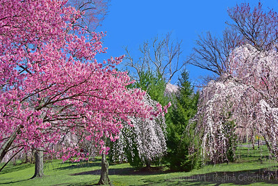 Cherry Blossom Landscape Branch Brook Park