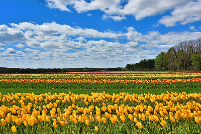 Tulip Joy in the Fields