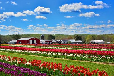 Country Tulip Farm Landscape  NJ