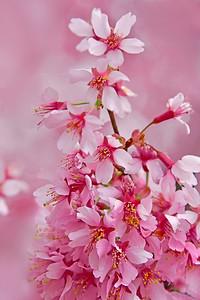 Pink Cherry Blossom Study
