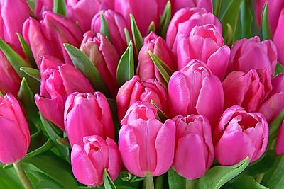 Pink Tulip Profusion