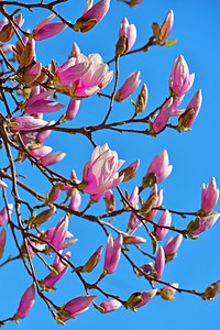 Pink Magnolia Buds and Blue Sky