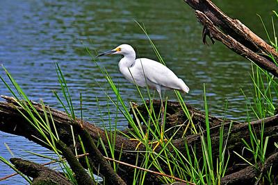 Snowy Egret in NJ Meadowlands