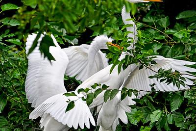 Great Egret Full House