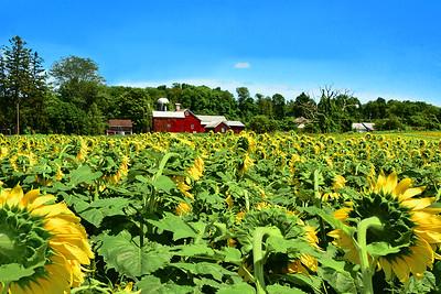 Past Prime Sunflower Field