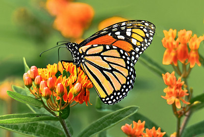 Monarch Butterfly and Orange butterfly Weed