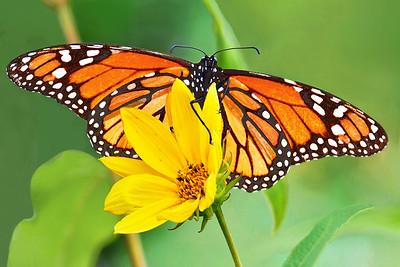 Monarch Butterfly on Oxeye Sunflower
