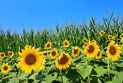 Sunflowers and Cornfield.
