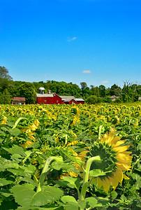 Sunflower Field Rear View