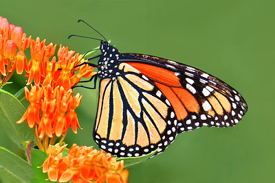 Perfect Together - Monarch and Butterfly Weed Flower