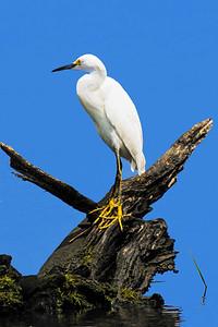 Snowy Egret on Tree Stump