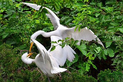 Great Egret Family Fracas