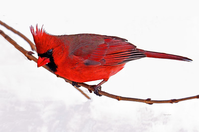 Northern Cardinal Snow Day