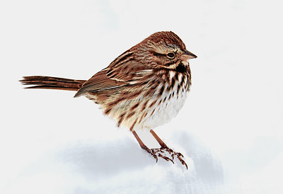 Song Sparrow in the Snow