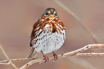 Fox Sparrow Portrait