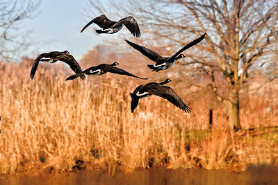 Canada Geese-Sundown Fly By